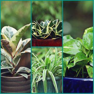 Oxygen Producing Plants