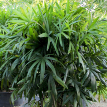 broadleaf-lady-palm