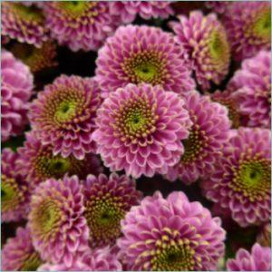 florists-chrysanthemums