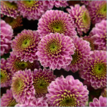 florists-chrysanthemums