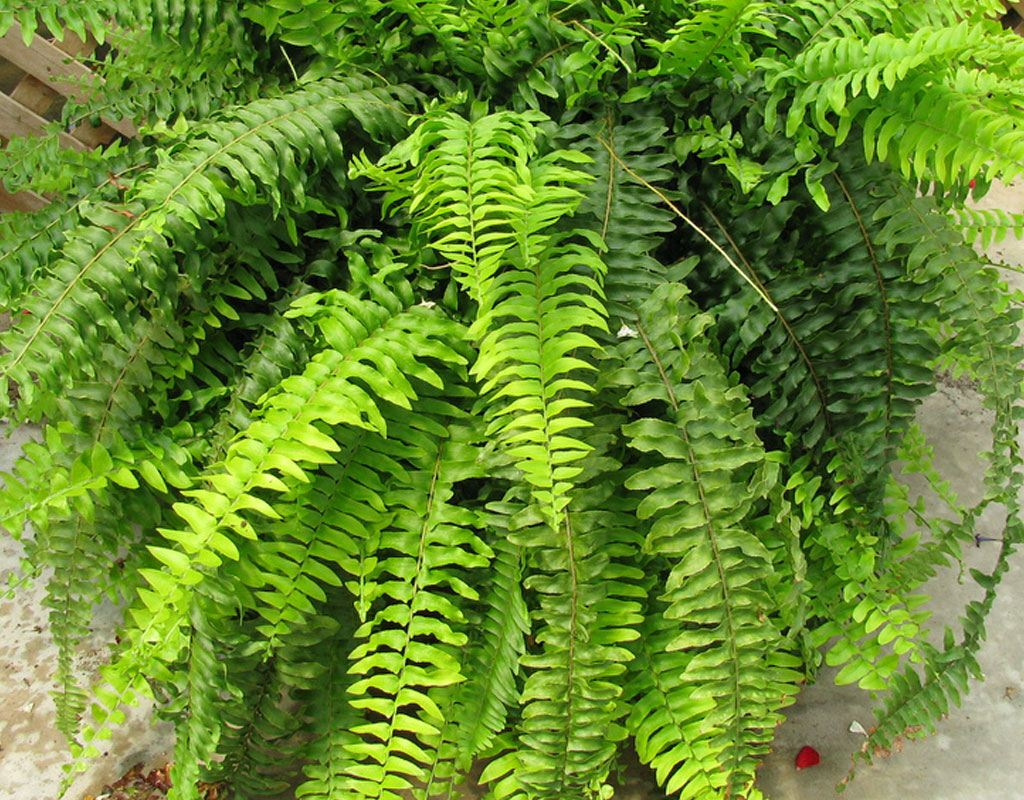 plants-for-vertical-gardens-Boston-Fern