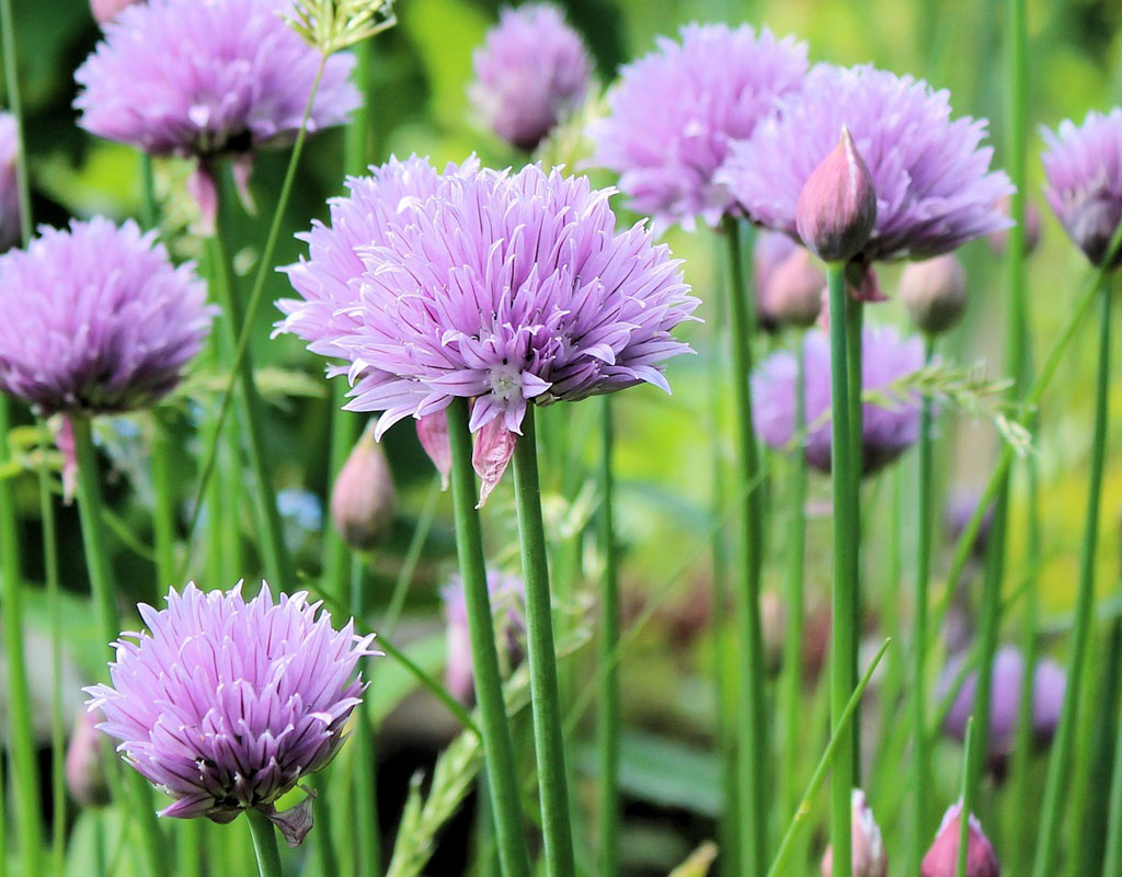 plants-for-vertical-gardens-Chives