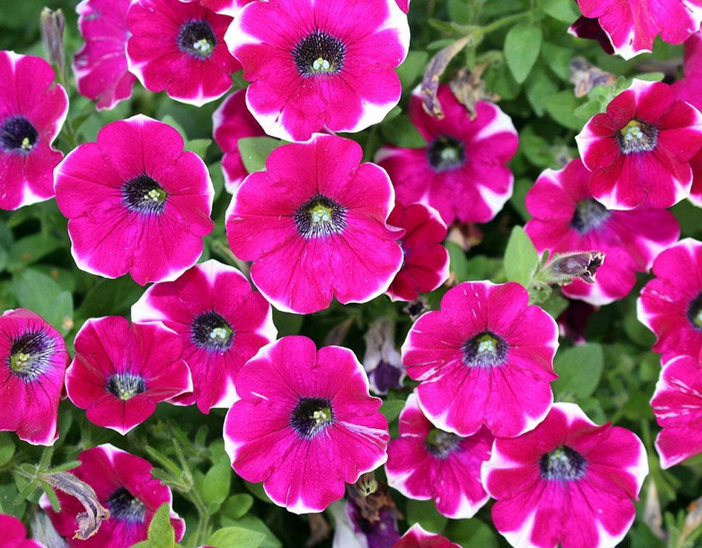 plants-for-vertical-gardens-Petunias