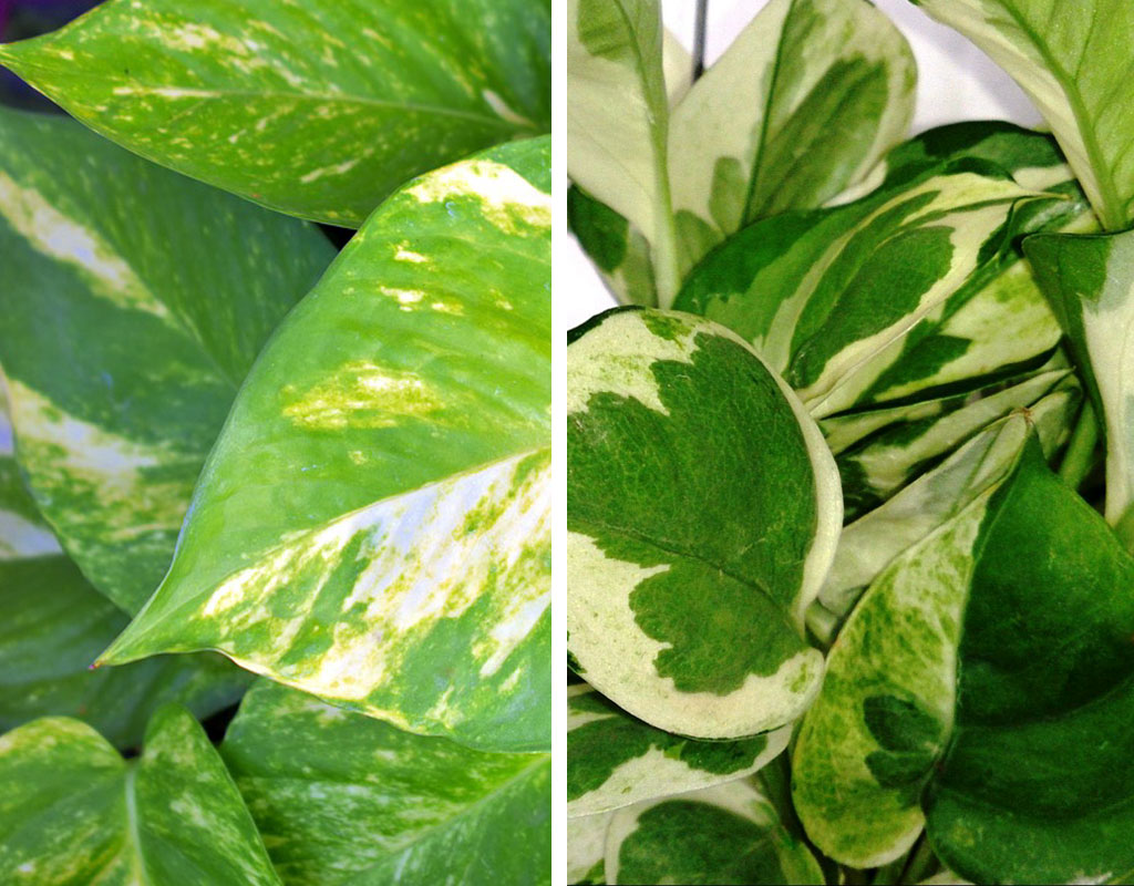 plants-for-vertical-gardens-Pothos-Golden-Pothos-and-Devil's-Ivy