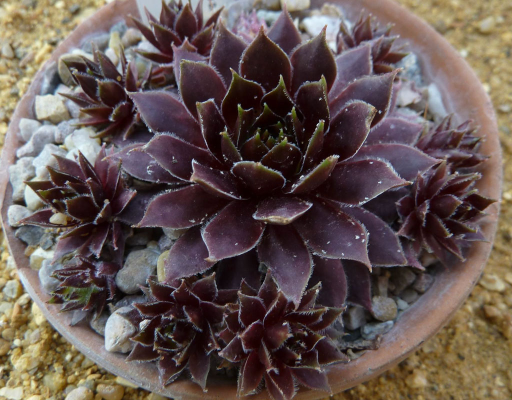 plants-for-vertical-gardens-Sempervivum