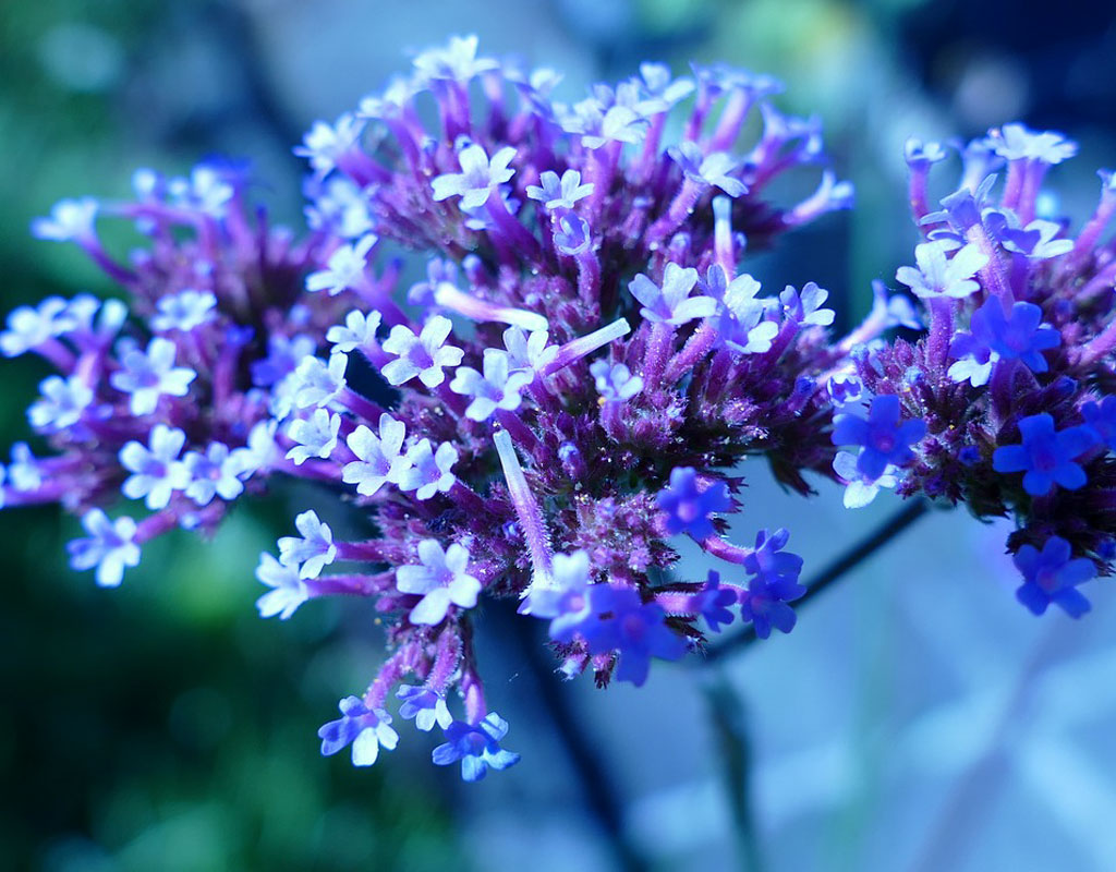 plants-for-vertical-gardens-Verbena